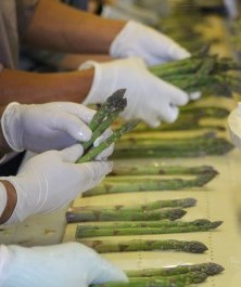 Asparagus sorters
